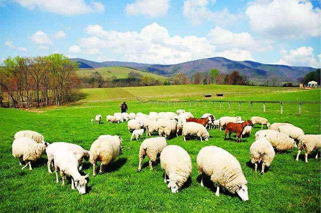 Mơ thấy cừu đánh đề con gì?