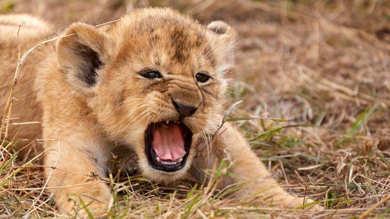 Nằm mơ thấy sư tử đánh con gì để thắng lớn